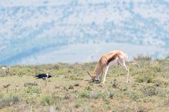 抓它的头的跳羚,当一只染色乌鸦看时 库存图片
