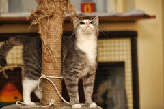 抓岗位的逗人喜爱的猫 免版税图库摄影
