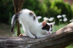 抓树枝的小的空白小猫 库存图片