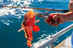 抓火鱼 库存图片