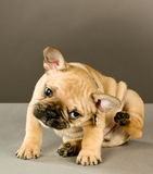 抓甜点的小狗 库存图片