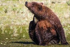 抓痒的阿拉斯加巨大的布朗北美灰熊 图库摄影
