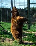 抓的熊  库存图片