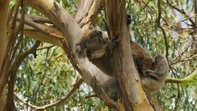 抓的考拉在一棵树在澳大利亚 影视素材