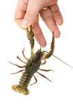 抓缴获的小龙虾手指 免版税图库摄影