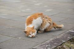 抓蚤的橙色猫 免版税库存照片