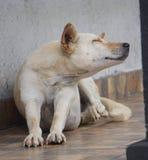 抓说谎大白色白肤金发的狗在房子前面的地板 库存图片