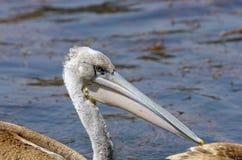 抓鱼的鹈鹕在湖Hora,埃塞俄比亚附近 免版税库存照片