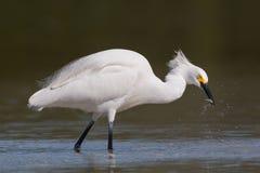 抓鱼, Estero盐水湖,弗洛尔的白鹭 免版税库存照片