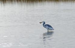 抓鱼09的杂种Tricoloured苍鹭x白鹭 免版税库存图片