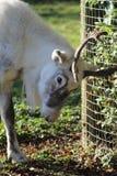 抓鹿角的白色驯鹿 图库摄影