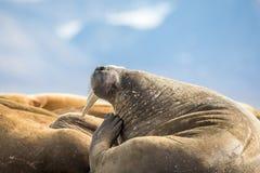 抓他的在一个小组的海象头海象在卡尔王子岛,斯瓦尔巴特群岛 库存照片