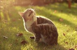 抓他的奇恩角的猫 免版税库存照片