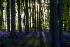 投下长的阴影的落日通过会开蓝色钟形花的草山毛榉的木材 图库摄影