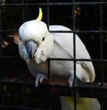 投入它的头的一只白色美冠鹦鹉鸟通过鸟舍的酒吧 库存照片