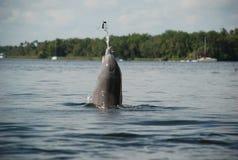 投掷海草的海豚 库存图片