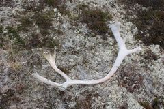 投掷的鹿鹿角对青苔 免版税库存图片