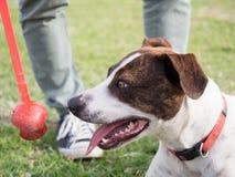 投掷网球的狗等待的所有者 库存图片