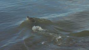 投掷远离小船的鳄鱼 影视素材