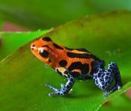 投掷青蛙毒物红色 免版税库存图片