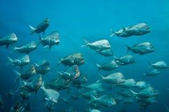 投石者的鱼学校一起游泳 免版税库存图片