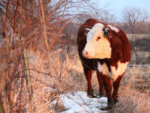 投票的赫里福德小牝牛 免版税库存图片