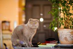 折叠与坐在有花的一个罐的黄色眼睛的灰色猫 免版税库存图片