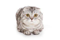 折叠小猫苏格兰人 库存图片