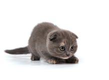 折叠小猫苏格兰人 库存照片