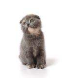 折叠小猫苏格兰人 图库摄影