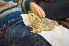 抚摸一只有胡子的龙蜥蜴的男孩 库存照片