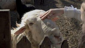抚摸一只白羊的头的女孩在动物园在一个晴朗的夏日 r ?? 4K 股票录像