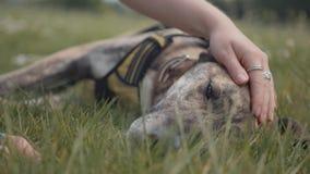 抚摸宠物灵狮/德国牧羊犬狗在公园 影视素材