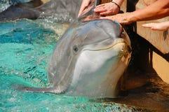 抚摸宽吻海豚的人们 库存图片