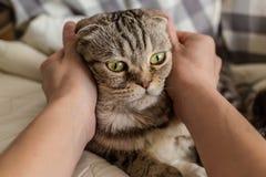 抚摸手的人使猫苏格兰人折叠惊奇 免版税库存照片