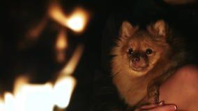 抚摸狗波美丝毛狗的妇女坐由火,狗坐所有者手 股票视频