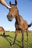 抚摸马的一个女孩的手 库存照片