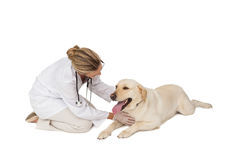 抚摸黄色拉布拉多狗的俏丽的狩医 免版税库存照片