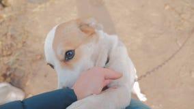 抚摸first-person看法的人狗头关闭 人抚摸狗 在狗和人爱之间的友谊 宠物 股票视频
