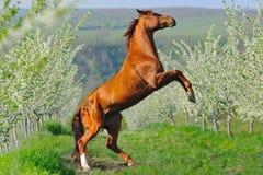 抚养在开花的春天庭院里的栗色马画象 免版税库存照片