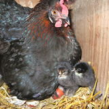 抚养自然的小鸡,一只黑母鸡在秸杆的摊位养殖, 库存图片