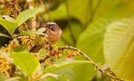 抛光红喉刺莺的Saltator 库存图片
