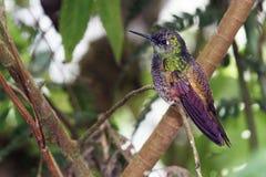 抛光被盯梢的冠,蜂鸟在厄瓜多尔 库存照片
