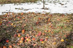 抛弃了在一棵凋枯的草的腐烂的苹果果子 图库摄影