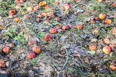 抛弃了在一棵凋枯的草的腐烂的苹果果子 免版税库存图片