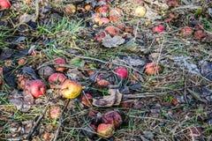 抛弃了在一棵凋枯的草的腐烂的苹果果子 库存图片