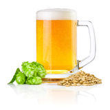 抢劫新鲜的啤酒用绿色在白色背景隔绝的蛇麻草和麦子 免版税图库摄影