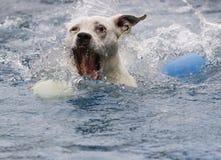 抢在水池的一个球的狗 免版税库存照片