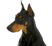 护卫犬 免版税图库摄影