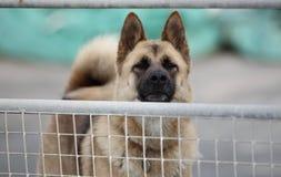 护卫犬 免版税库存照片